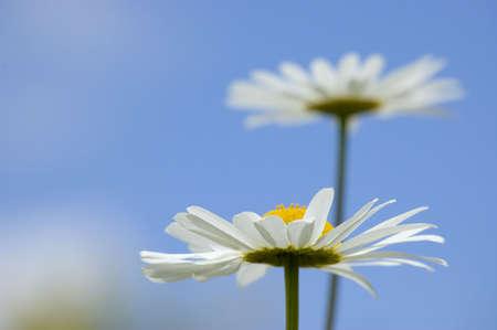 Daisy over blue sky. Bottom view