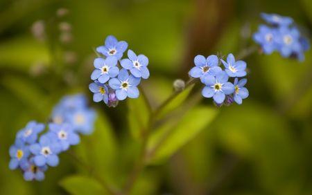 Forget me not flowers. Shallow DoF. 版權商用圖片