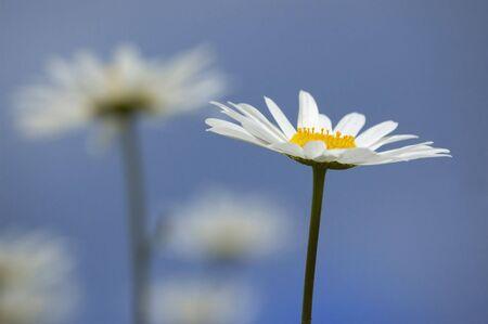 Summer wild daisies over blue sky 版權商用圖片