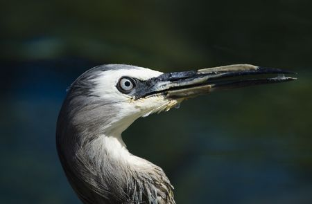 Head of a white-faced heron close-up