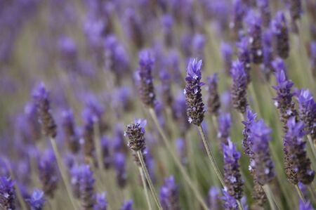 Lavender herb plant field 版權商用圖片