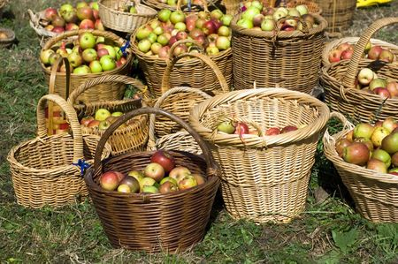 New season apples harvested in baskets