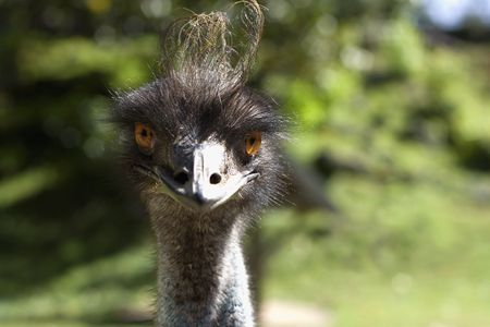 Portrait of fashionable ostrich with hairstyle. Front view. Close-up.
