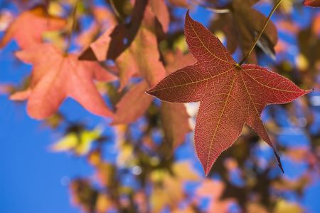 Red autumn fall maple leaf with veins texture. Orange leaves and blue sky on background 版權商用圖片