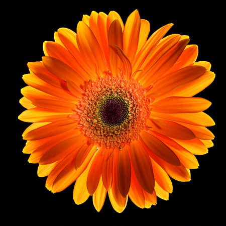 back lighting: Red-yellow back lighting gerber (african daisy) on a black background