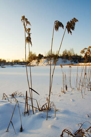 dried up: The winter, the sunset, the frozen lake, stalks of the dried up reed, in the distance is seen village