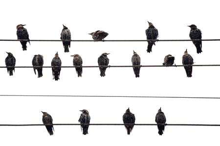 conductor electricity: Birds on a Wire.  Isolated on white.