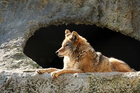 eyes cave: The wolf brightly shined by the sun lays near a cave