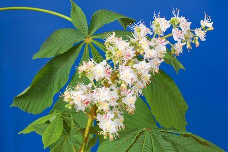 palmate: Aesculus hippocastanum (blossom of horse-chestnut tree) on blue Stock Photo