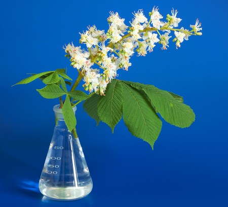 volumetric flask: Aesculus hippocastanum (blossom of horse-chestnut tree) on blue in chemical flask