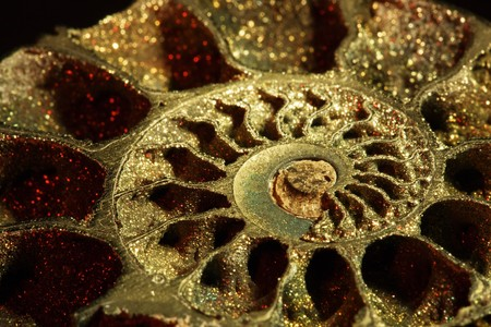 Close-up of ammonite fossil on black background, red light, inclined