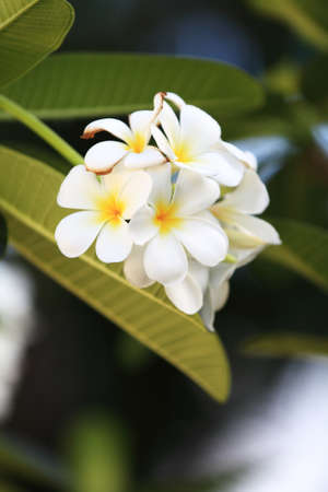 white frangipani flowers  photo