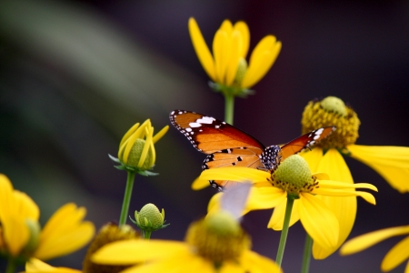 common tiger butterfly on yellow flowers photo