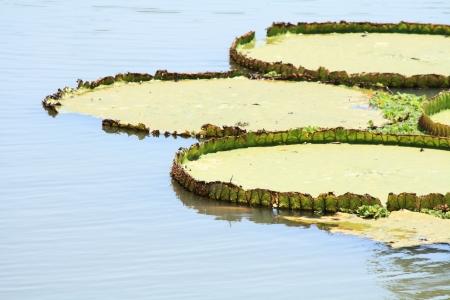 Victoria Regia, Amazonian water lilies photo