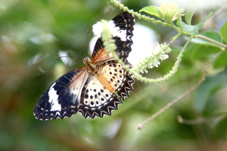 lacewing: The Leopard Lacewing Butterfly Stock Photo