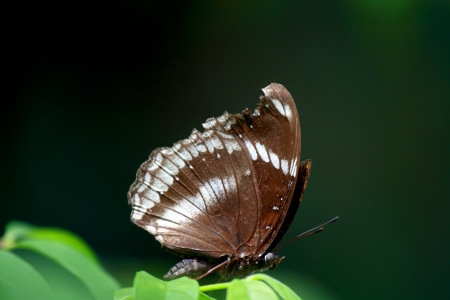 The Great Egg-fly butterfly  photo