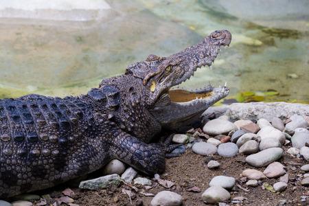 alligator eyes: crorodile in a zoo