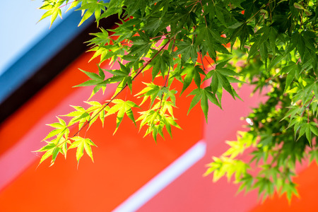 green maple leaves with blurred red torii gate