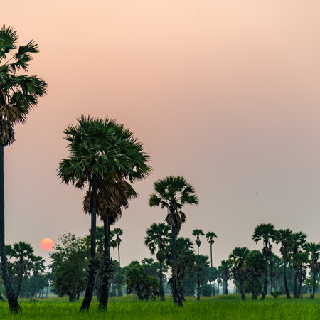 palm tree with rice field on sunset