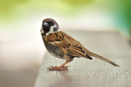 Eurasian Tree Sparrow bird sitting on table wood