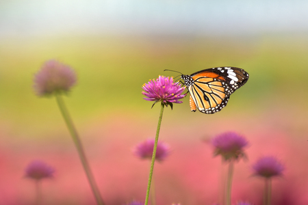 The butterfly was drinking water of the sweet flowers in the morning Stock Photo