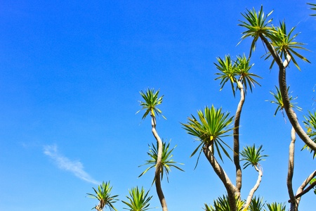 bue: Dracaena tree,  bue sky natural background
