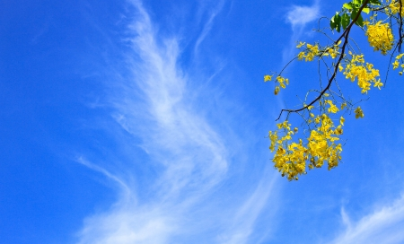 Cassia Fistula in clear blue sky  national tree of Thailand photo