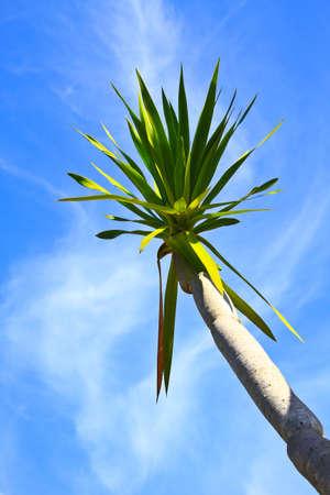 Dracaena tree,  bue sky natural background photo