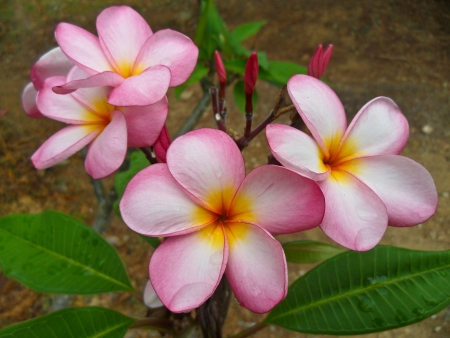 close-up shot for  frangipani flowers