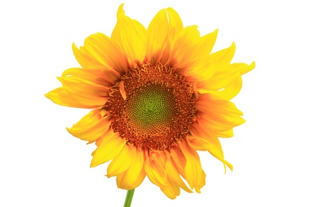 sunflower close up isolated on white background photo