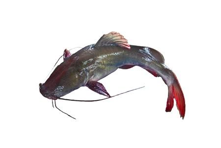 Hemibagrus  wyckioides  Freshwater fishes of Thailand Stock Photo