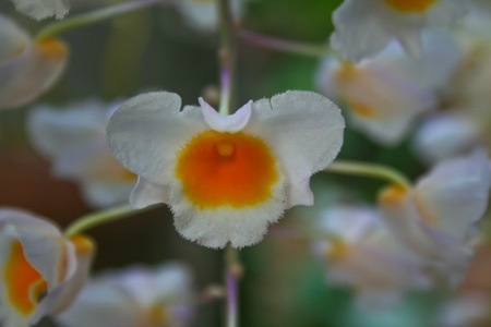 botanica: Dendrobium palpebrae Rare species wild orchids in forest of Thailand, This was shoot in the wild nature