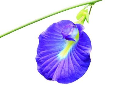 pea shrub: Clitoria ternatea or butterfly pea flower on white background Stock Photo