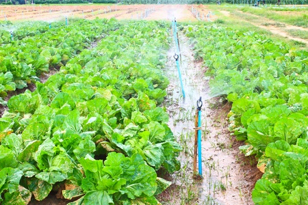Field of Green Leaf and lettuce crops growing in rows on a farm ,Thailand Stock Photo