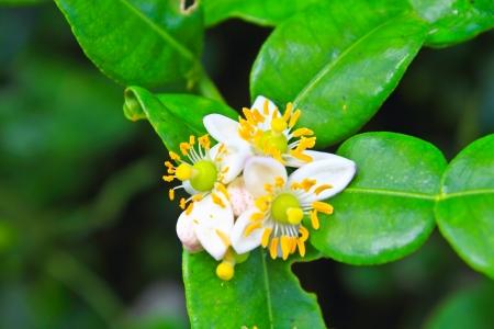 Flower of bergamot fruits on tree in garden Stock Photo