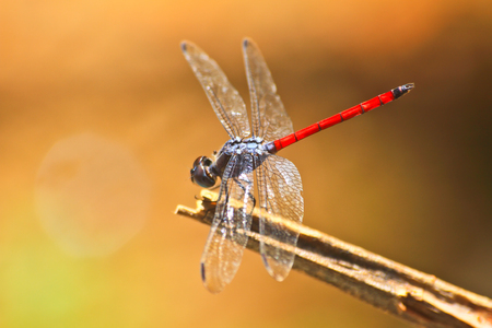 red dragonfly resting on a branch in forest photo