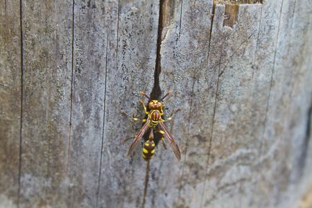 hymenoptera: Hymenoptera insect, insect feeding water on bamboo in forest