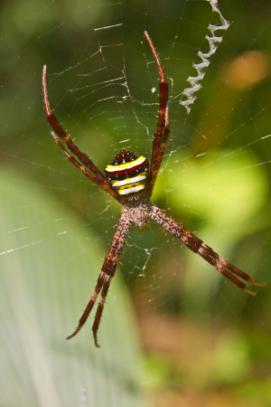 Multi-coloured Argiope Spider, beauty insect on web in forest photo