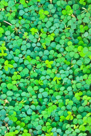 Pattern of Wood sorrel or Oxalis acetosella, background nature photo