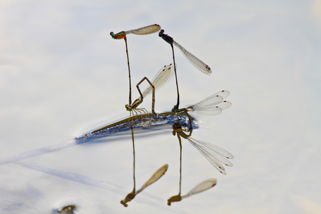 mating colors: mating damselflies breeding on branch over river