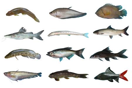 Set Freshwater fish of Thailand, Freshwater fish isolated on white background Stock Photo