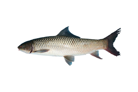 Freshwater fish isolated on white background, Small scale mud carp Common names species photo