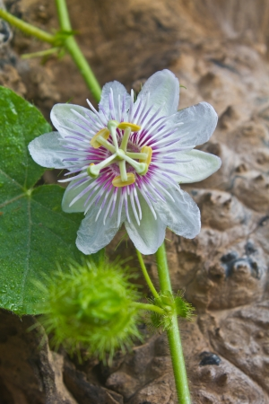 fetid: flower from Thailand, Passiflora foetida, Fetid passionflower, Scarlet fruit passionflower, Stinking passionflower