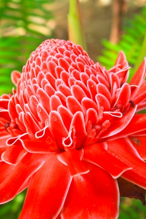 flowers from Thailand, Etlingera Elatior or Red Torch Ginger photo