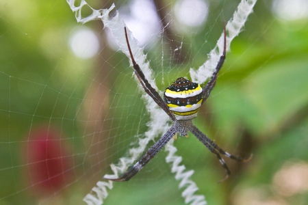 argiope: beauty insect on web in forest, Multi-coloured Argiope Spider