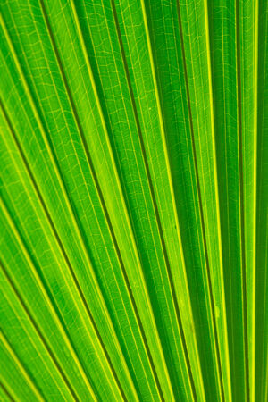 Sugar palm leaf, Texture of Green palm Leaf photo