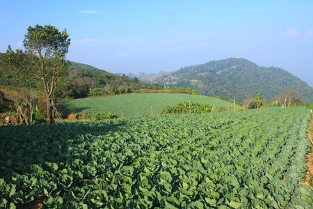 Cabbage agriculture fields in Northern Thailand photo