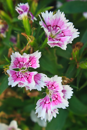Flower from Thailand, Dianthus Chinensis Flowers or China Pink , Indian Pink photo