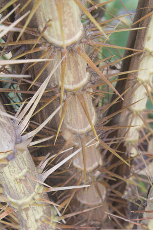 Thorns of Zalacca, tree fruit flavors, Thailand photo