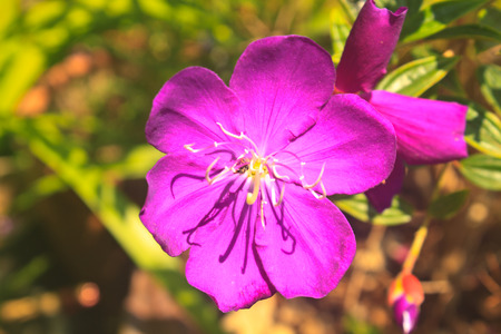 violet flower, beautiful close up of Malabar melastome Stock Photo - 26145809
